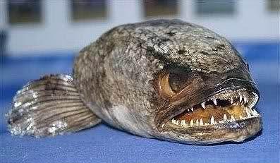 """Karada 4 Gün Yaşayabilen Canavar Balık """"Fishzilla"""" - karma"""