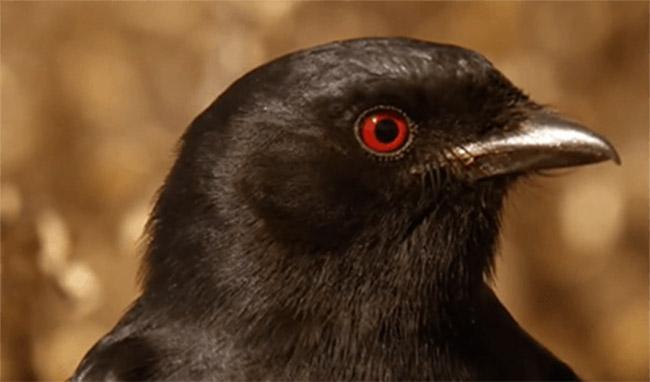 """Dünyanın En Sinsi Kuşu """"Drongo"""" - basin-medya"""
