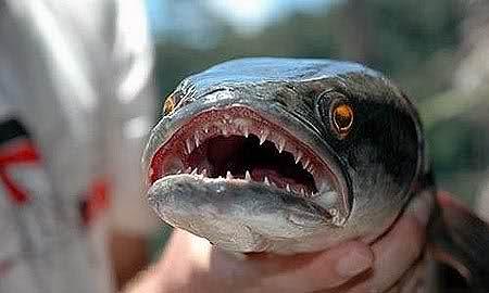 """Karada 4 Gün Yaşayabilen Canavar Balık """"Fishzilla"""""""