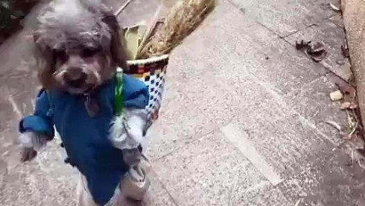 İki Ayak Üstünde Yürüyen Çinli Köpek