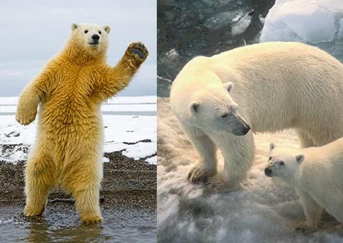 Kutup Ayıları Hakkında İlginç Bilgiler