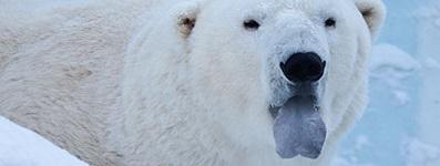 kutup ayisi dili - Kutup Ayıları Hakkında İlginç Bilgiler