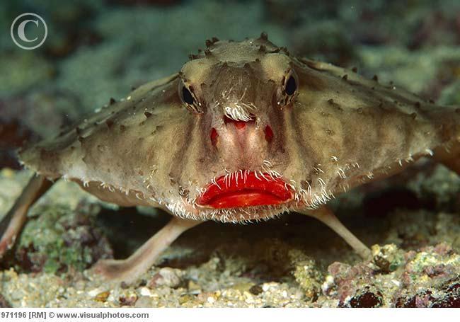 """Siz Hiç """"Gül Dudaklı Yarasa Balığı"""" Gördünüz Mü? - basin-medya"""