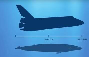 """Dünyanın En Büyük Hayvanı """"Mavi Balinalar"""""""