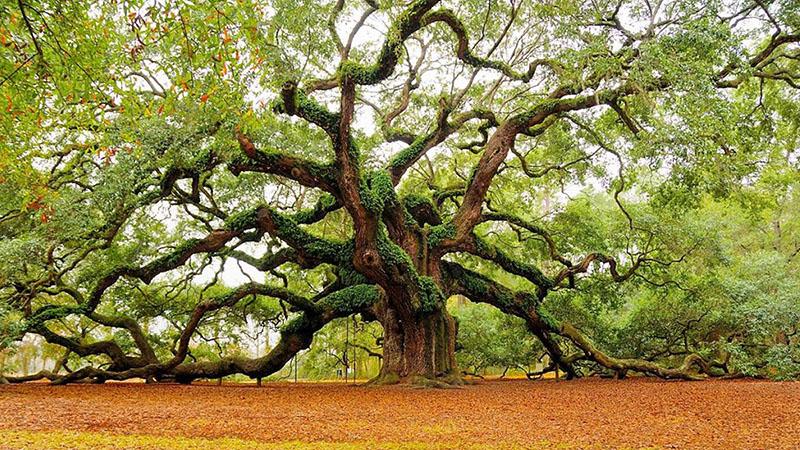Dünyanın En Yaşlı Meşe Ağacı